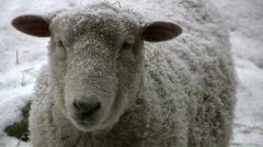 Snow ,on sheep Stock Footage