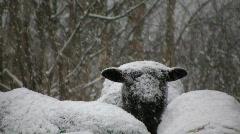 Snowfall on sheep Stock Footage
