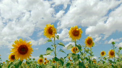 HD Beautiful yellow sunflowers and flying bee, Closeup - stock footage