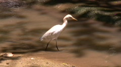 Tropical Asian Egret Preening Nature Stream Pool Lagoon Bird White  Stock Footage