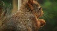 Squirrel eats hazelnut Stock Footage