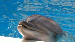HD A dolphin performing in a dolphin show, closeup - stock footage
