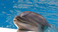 Stock Video Footage of HD A dolphin performing in a dolphin show, closeup