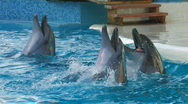 Stock Video Footage of HD Dolphins performing in a dolphin show, playing with balls, closeup