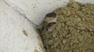 HD Swallow feeding nestlings, closeup Stock Footage
