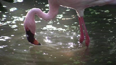 Pink Flamingo wades in a sunlit pond Lagoon wildlife nature Tropical bird Lovely Stock Footage