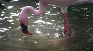 Stock Video Footage of Flamingos wadesin a sunlit pond.
