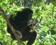 Wild Black Gibbon Monkey Primate Hanging in Jungle Forest Tree Monkey Ape - stock footage