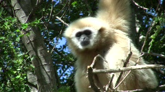 Wild White Gibbon Monkey Primate Hanging in Jungle Forest Tree Monkey Ape - stock footage