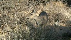 Deer Walking And Feeding In Sonoran Desert Stock Footage
