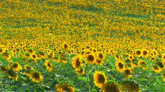 HD Sunflower field, sunflowers swaying from the wind, timelapse Stock Footage