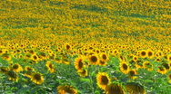 Stock Video Footage of HD Sunflower field, sunflowers swaying from the wind, timelapse