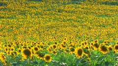 HD Panorama of Sunflower field Stock Footage