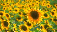 HD Beautiful yellow sunflowers and flying bees, Closeup - stock footage