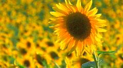 HD Beautiful yellow sunflower in the sun, Closeup Stock Footage