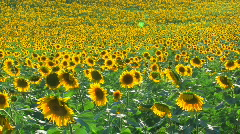 HD Panorama of Sunflower field, sunflowers swaying from the wind Stock Footage