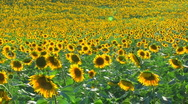 Stock Video Footage of HD Panorama of Sunflower field, sunflowers swaying from the wind