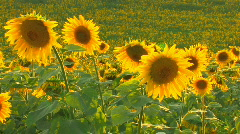 HD Sunflowers and bees at beautiful summer day, closeup  - stock footage