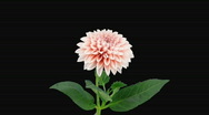 Time-lapse of opening pink dahlia 7 with alpha matte Stock Footage