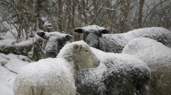 Sheep in the snow Stock Footage