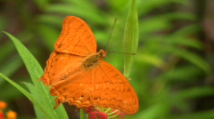 Cruiser Butterfly - stock footage