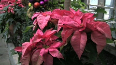 Usbg poinsettia plant silent 10s Stock Footage