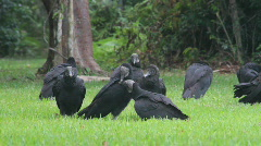 Vultures (2 shots) Stock Footage