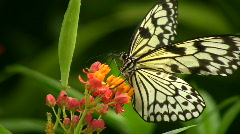 Tree Nymph Butterfly Stock Footage
