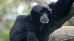 Siamang Gibbon 2 Stock Footage