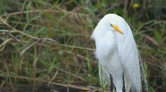Great White Heron Stock Footage