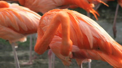 Flamingos 1 Stock Footage