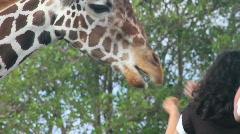 Feeding a Giraffe Stock Footage