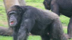 Chimpanzee Walking Stock Footage
