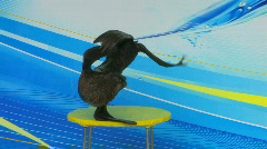 HD Fur seal performing on the stage, closeup Stock Footage