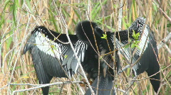 Anhinga Grooming Stock Footage
