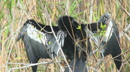 Stock Video Footage of Anhinga Grooming