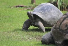 Tortoise Walking 2 Stock Footage