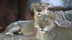 Pride of Lions at Rest Lioness Wild Cat Carnivore Africa after Killing  Stock Footage
