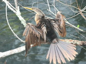 Anhinga Drying Feathers Stock Footage