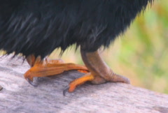 Anhinga (2 shots) Stock Footage