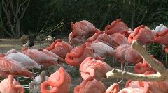 San Diego Zoo Flamingos Stock Footage