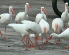 White Ibis Feeding Frenzy Stock Footage