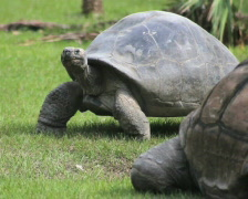 Stock Video Footage of Tortoise Walking 2
