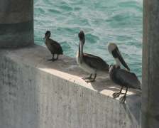 Pelicans and Duck Stock Footage