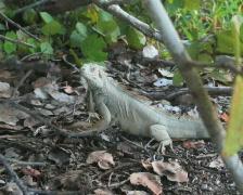 Iguana Dance Stock Footage