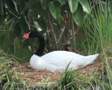 Black-necked Swan (2 shots) Stock Footage