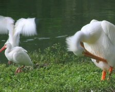 Pelican and Ibises (2 shots) Stock Footage