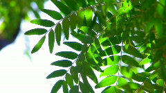 HD Tree branch with green leaves isolated on white - stock footage