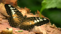 Clipper Butterfly Stock Footage