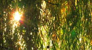 HD Willow branch with ray behind, reflected from the water  Stock Footage